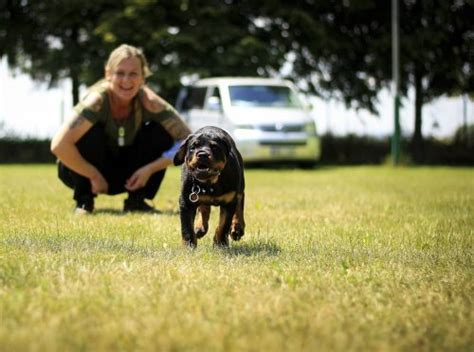puppy rottweiler tips rottweiler www pixshark images galleries with a bite