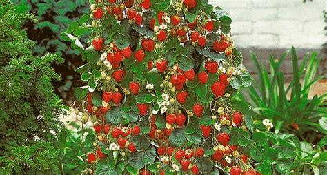 coltivare fragole in vaso fragole ricanti il frutteto coltivare fragole