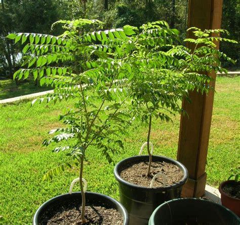 curry tree herb murraya koenigii