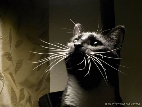 cat whiskers whiskers related keywords suggestions whiskers