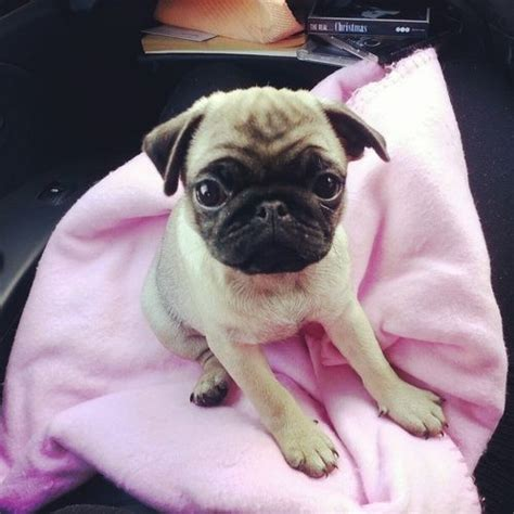 baby pug names 1000 images about chihuahua s pugs bull dogs on chihuahuas we
