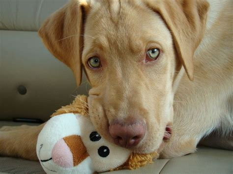 golden retriever pink nose fox lab pink nose search animals lab and labs