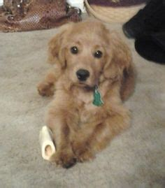 golden cocker retriever hypoallergenic 1000 images about adorable on golden retriever puppies cavalier king