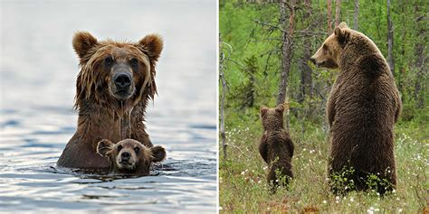 big bears teaching  teddies   bear bored panda