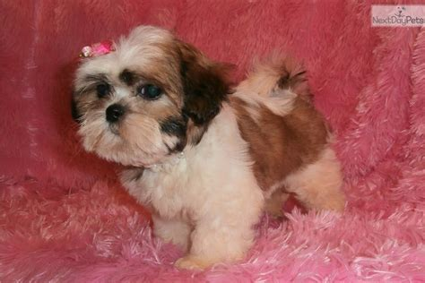 shih tzu puppies springfield mo shih tzu puppy for sale near springfield missouri a0ebf0a2 6711