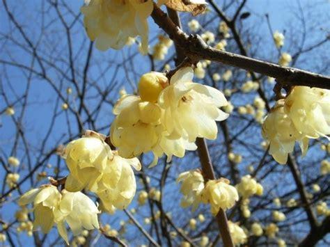 calicanto fiore calicanto chimonanthus praecox calycanthus praecox