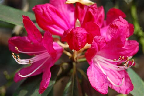 for flowers rhododendron arboreum landscape architect s pages