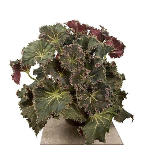 begonia susie s curl begonia rhizomatous hybrid