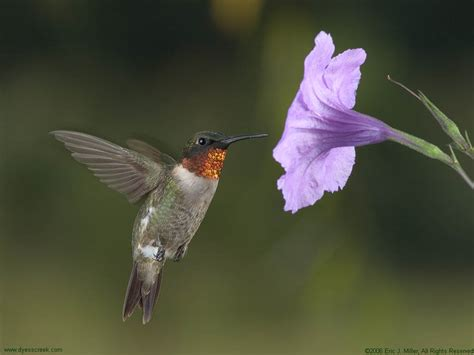 hummingbird desktop background