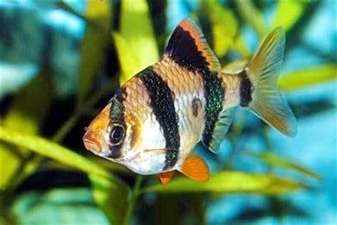 Makanan Ikan Hias Sumatra nine gold ikan sumatra