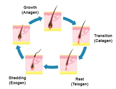 Hair Shedding Cycle by How It Works Sunetics Lasers
