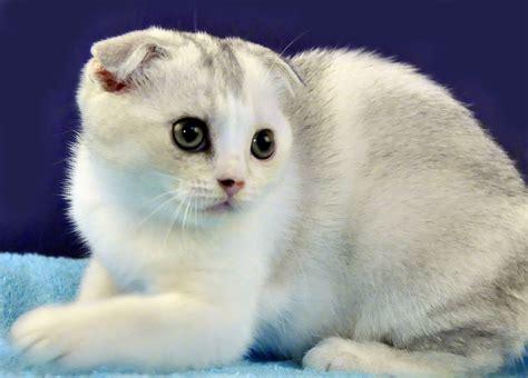Anakan Kucing kucing scotish fold info kucing anggora dan