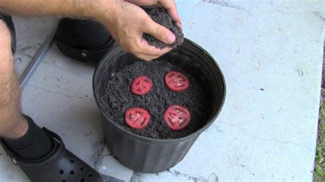 Tray Semai Terbaik the easiest way to grow tomato seedlings