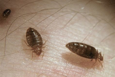 adult bed bug bed bug adults engorging flickr photo sharing