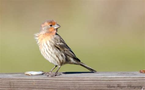 mexican house finch for sale stunning quot house finch quot artwork for sale on fine art prints