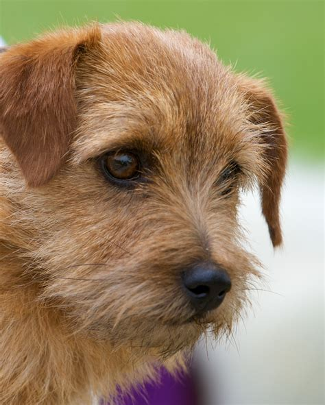 breeds of terrier breed chart
