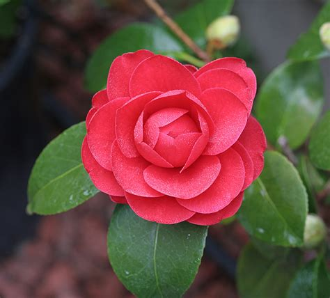 plants and flowers camellia japonica glen 40 coquettii