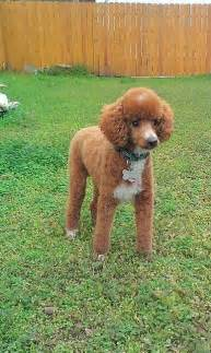 different styles of hair cuts for poodles fresh hair cut poodle perfect neat and adorable clip for