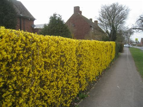 yellow forsythia hedge 169 logomachy geograph britain and ireland