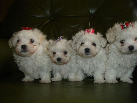 maltese puppies for sale in nj white maltese puppies for sale quotes