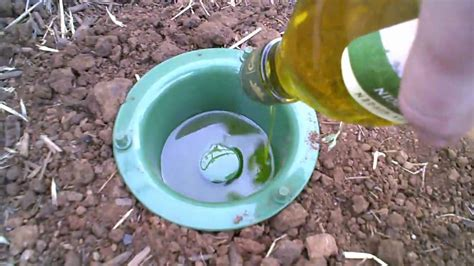 Earwig trap that has results. - YouTube