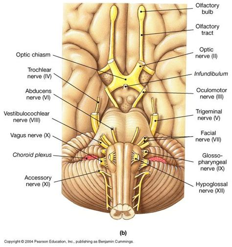 cranial nerve diagram nerves in the brain labeled search anatomy