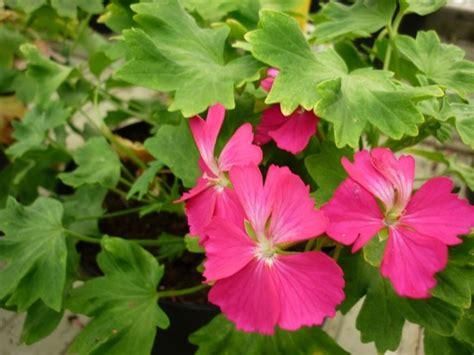 fiori geranio il geranio fiori in giardino caratteristiche geranio