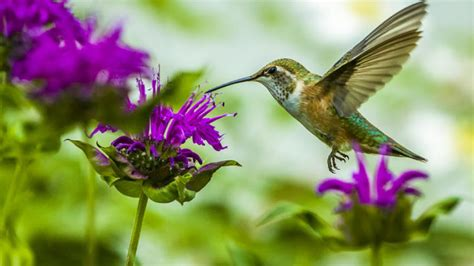 top 10 plants and flowers that attract hummingbirds to