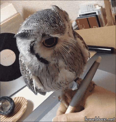 Gw Owl owl gif find on giphy