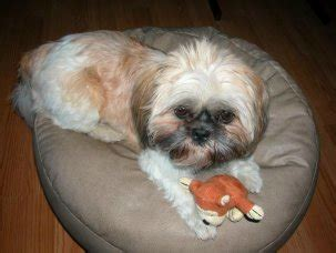shih tzu breathing problems symptoms breathing problem and what may cause it