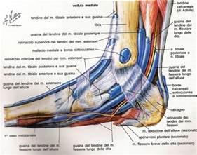 dolore interno spalla caviglia anatomia e biomeccanica componenti legamentose