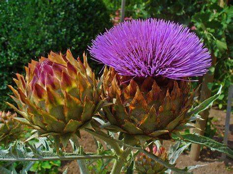 fiore carciofo file cynara cardunculus 008 jpg wikimedia commons