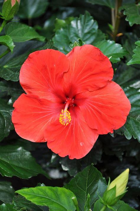 hibiskus zimmerpflanze kaufen hibiskus kaufen hibiskus kaufen hibiskus 39 39