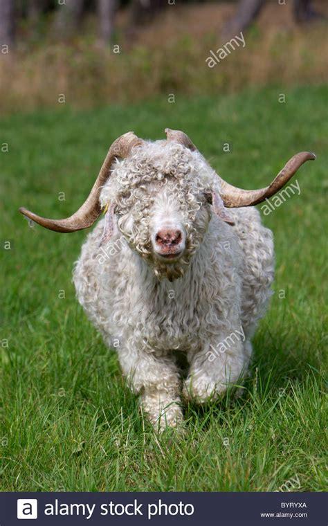 Angora Mohair by Mohair Goat Angora Goat Stock Photo Royalty Free Image