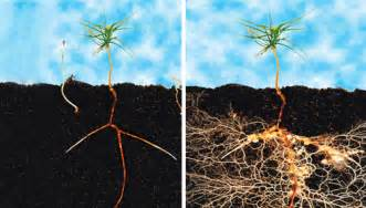 Fungal Diseases In Plants List - mycorrhizae arbuscular mycorrhizae ectomycorrhizae endomycorrhizae mycorrhizae arbuscular