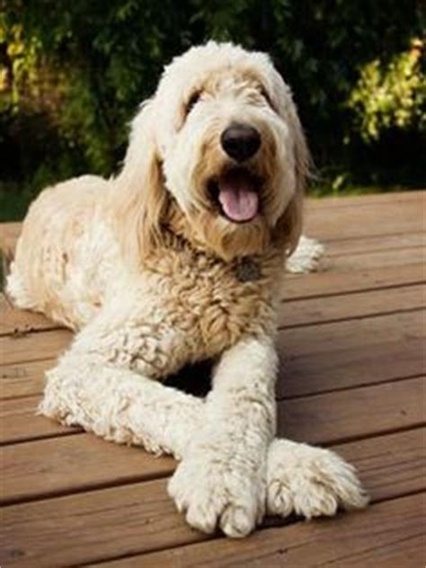 goldendoodle puppy traits our goldendoodle animal goldendoodle