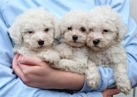 poodle puppies for sale miniature poodle puppies for sale nottingham nottinghamshire pets4homes