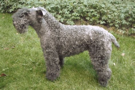 kerry blue terrier puppies dogs that don t shed 23 hypoallergenic breeds
