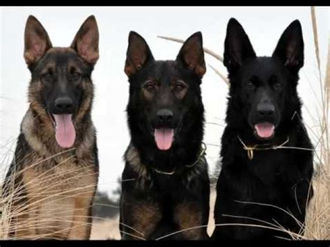 all black german shepherd black german shepherd puppies collection of pictures