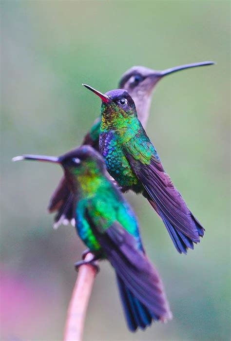 colors of hummingbirds outstanding by raymond pauly animals birds bird three