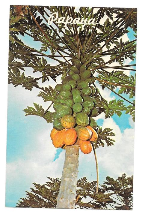 fruit trees hawaii papaya tree hawaiian tropical fruit vintage postcard hawaii