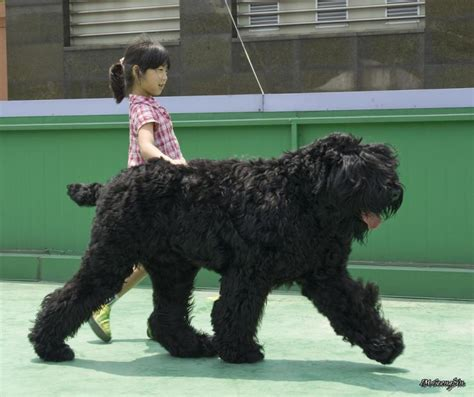 where can i get a puppy where can i get a black russian terrier puppy