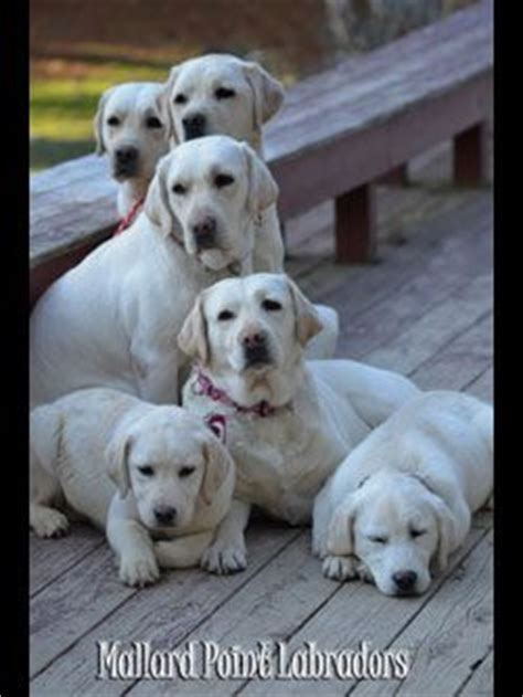 labrador puppies maine 15 best images about paint purpule on educational crafts mallard and high low