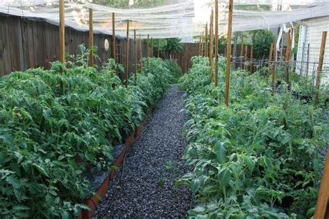 backyard tomatoes inside urban green sub irrigated planters sips a