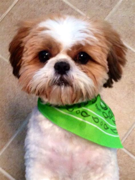 baby shih tzu names my shih tzu baby with his summer cut pictures and quotes summer bar