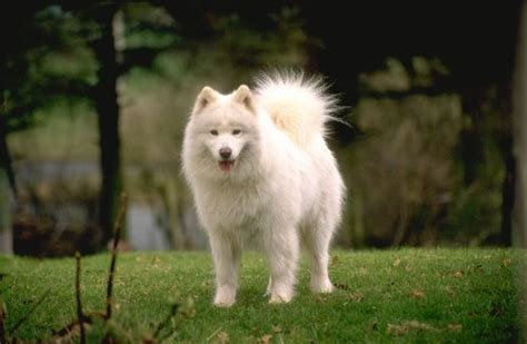samoyed puppies for sale az samoyed pictures