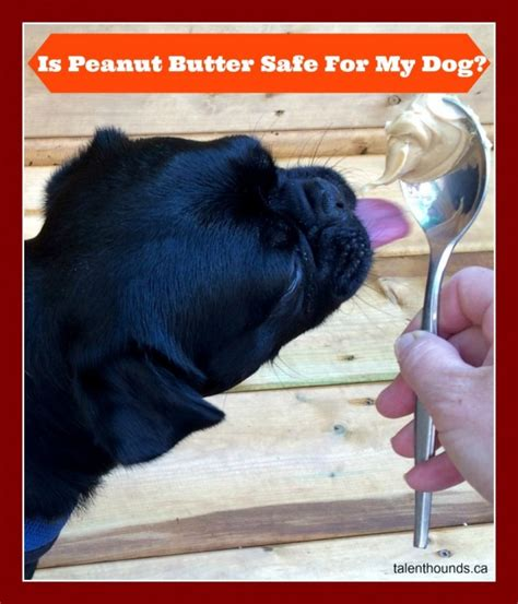 can dogs eat cuties can dogs eat peanut butter talent hounds