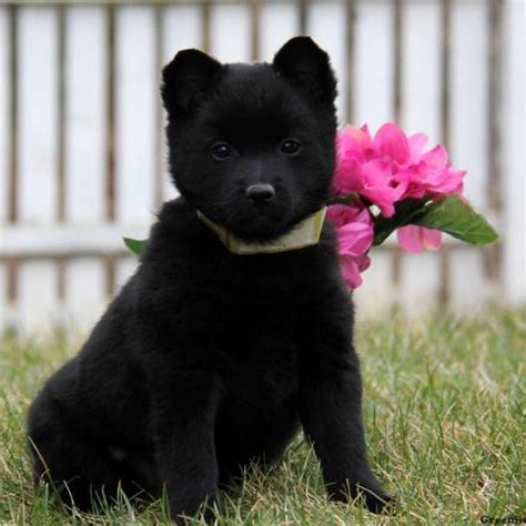 schipperke puppies schipperke puppies for sale in pa