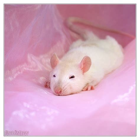 222 best images about rat 745 best images about my fancy rats and other rats on