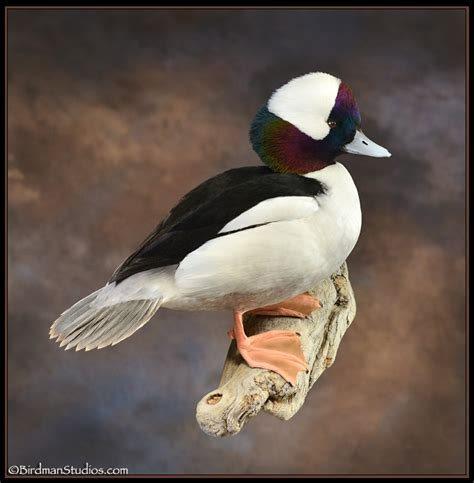 bufflehead duck mount